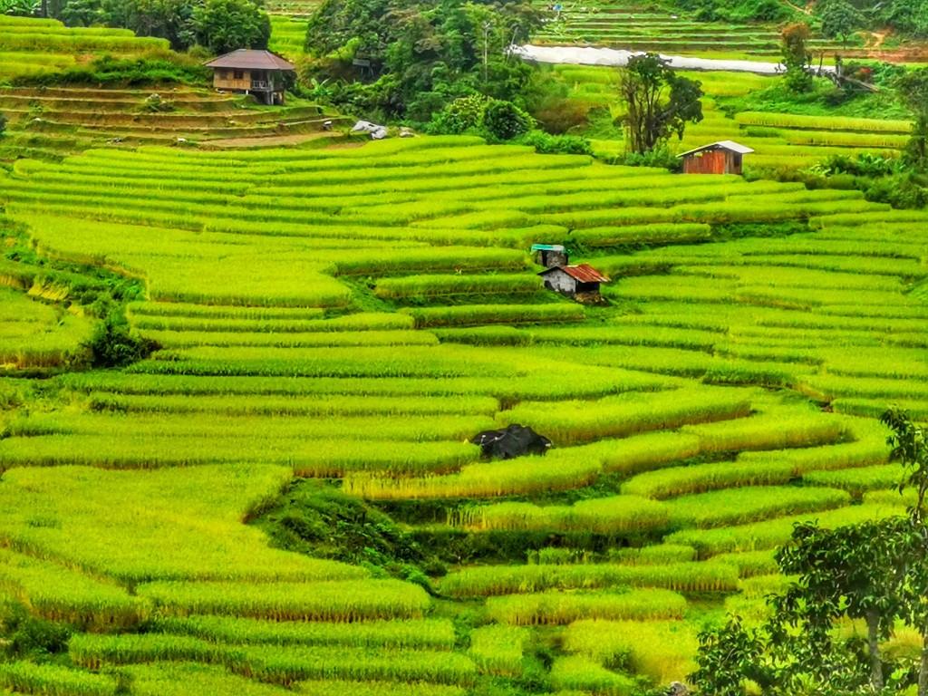 Mae Klang rice fields